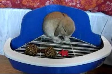 10_Critical_Facts_about_Caring_For_Netherland_Dwarf_Rabbits-Litter Training