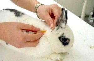 10_Critical_Facts_about_Caring_For_Netherland_Dwarf_Rabbits-Vacciniation
