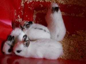 7 Steps Guide to Successful Netherlands Dwarf Rabbits Breeding