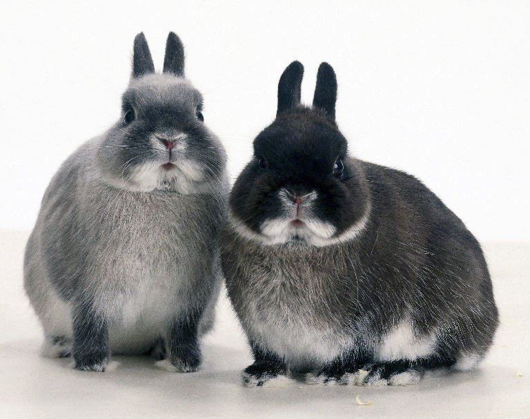 Guide to Netherlands Dwarf Rabbits Breeding Step 3