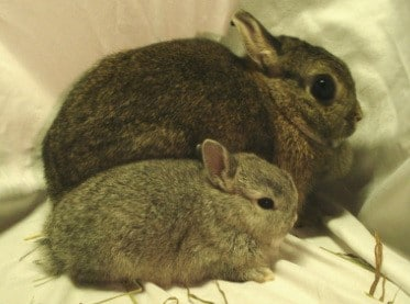 Guide to Netherlands Dwarf Rabbits Breeding Step 4