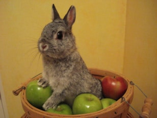 Responsible Buying and Tender Caring of the Netherland Dwarf Rabbit 2