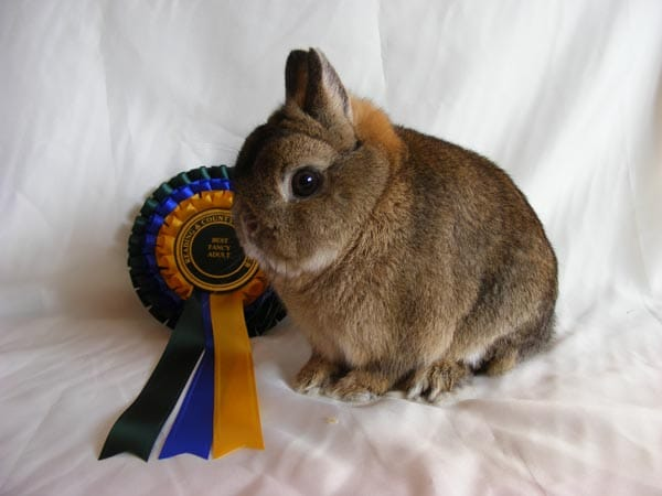 Responsible Buying and Tender Caring of the Netherland Dwarf Rabbit -Champion