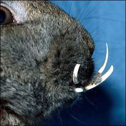 Responsible Buying and Tender Caring of the Netherland Dwarf Rabbit -Teeth