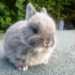 Responsible Buying and Tender Caring of the Netherland Dwarf Rabbit -blue