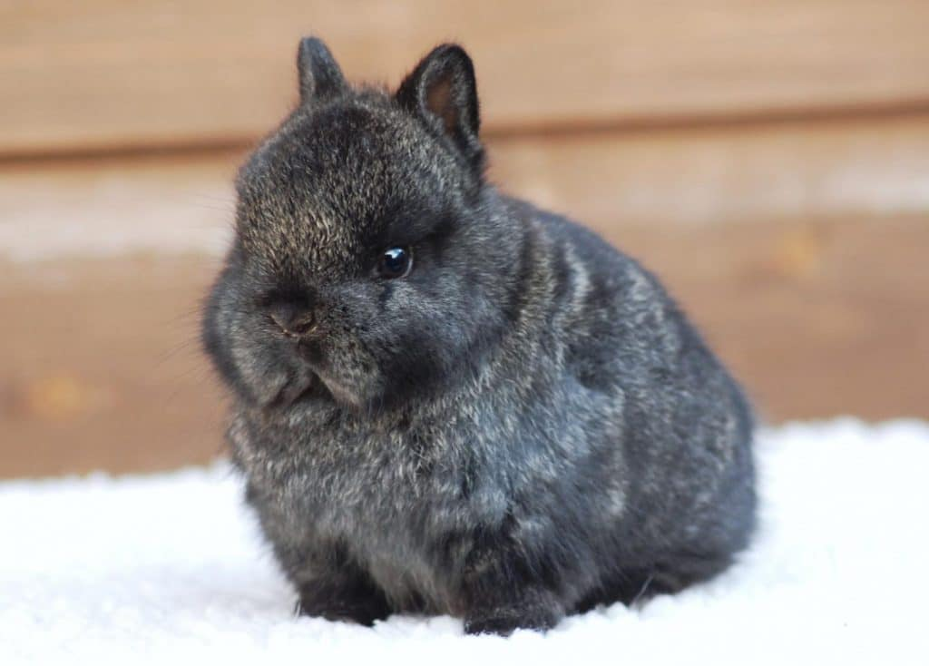 Netherland Dwarf Rabbit Breed Information, Facts, Photos and Care