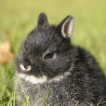 Cute netherland dwarf bunny picture
