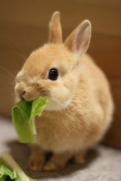 netherland-dwarf-bunny-can-survive-without-any-special-diet