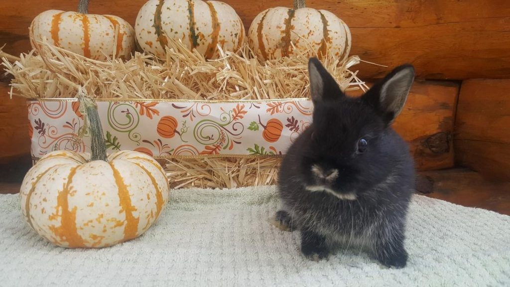 Responsible Buying and Tender Caring of the Netherland Dwarf Rabbit