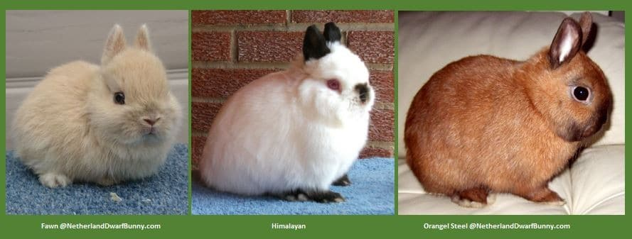 Any Other Variety (AOV)-dwarf-rabbit-netherlands