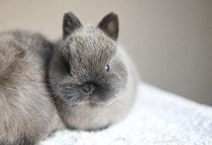 Netherland Dwarf Rabbit Breed Information, Varieties & Facts